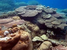 Arcopora, terumbu karang berbentuk meja yang hidup di perairan Pulau Biawak.