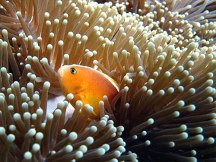 Ikan badut tengah bersembunyi di balik anemon.