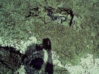 Ular laut di antara celah karang.