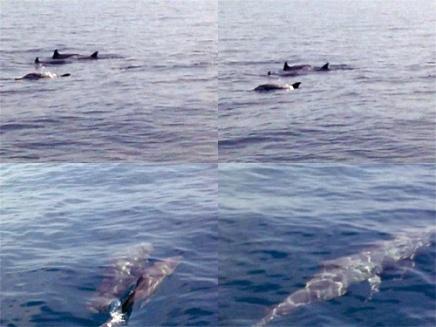 Kawanan lumba-lumba yang mengiringi.