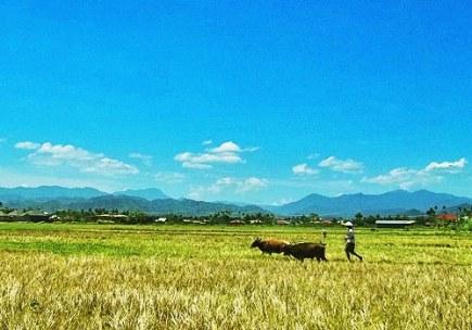 Petani tengah menggiring sapinya.