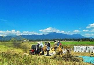 Para petani tengah sibuk memanen padinya.
